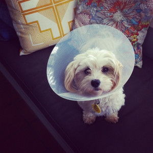 "The ""Cone of Shame is also called an E-collar, Elizabethan Collar or buster collar"