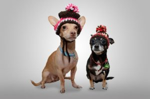 2 chihuahuas wearing winter hats